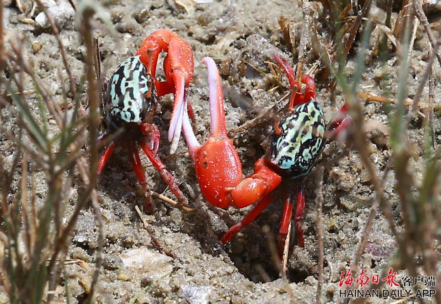 三亚红树苗长大了!招潮蟹回来了!