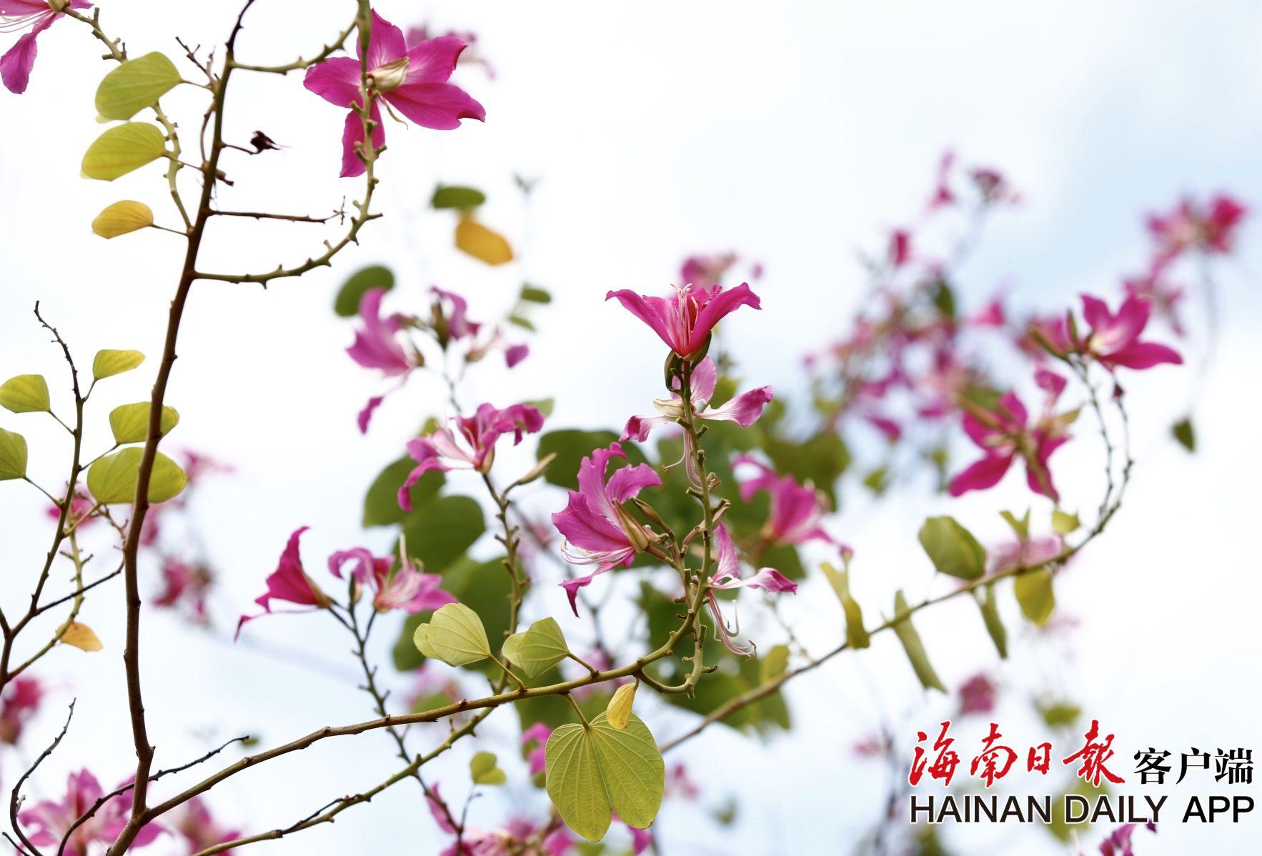 组图丨海口:宫粉紫荆花一路盛开