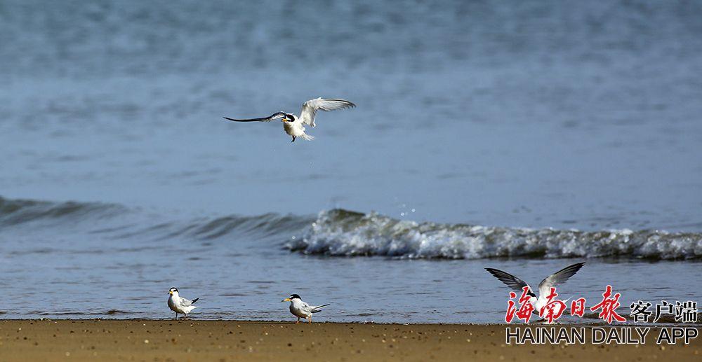 海口五源河湿地修复:引白额燕鸥集群栖息