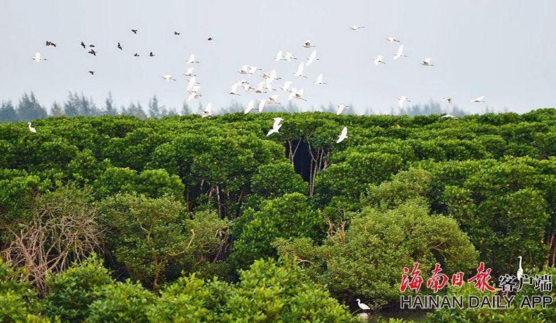海口红树林生态修复后迎来候鸟翩跹起舞