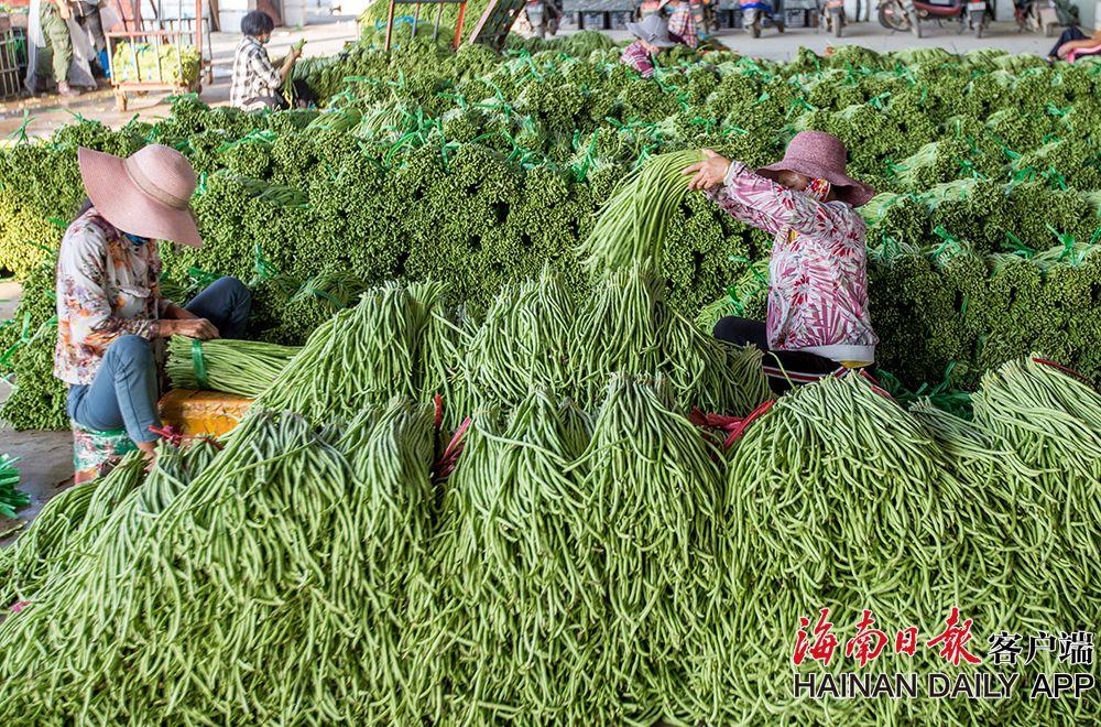 三亚瓜果菜进入上市高峰期 出岛产量高于去年同期水平
