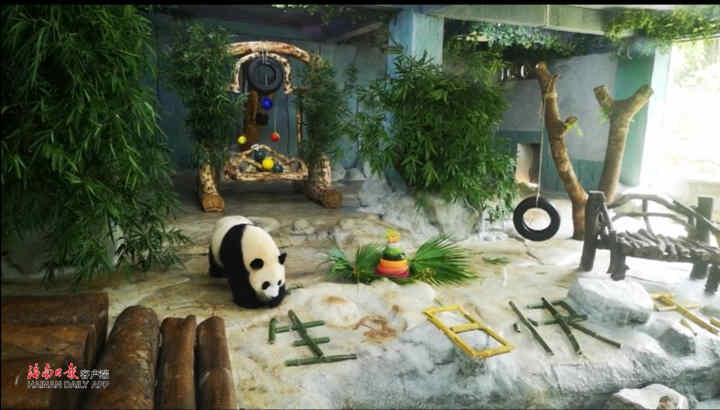 大熊猫兄弟在海南过6岁生日 首届海野国际猫粉日举行